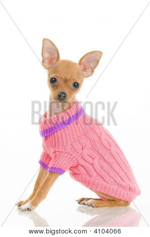 Chihuahua Dog In Pink Sweater