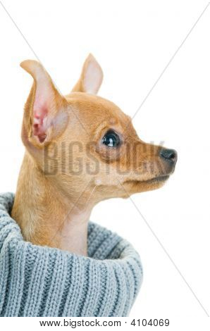 Close-Up Of Chihuahua Dog In Sweater