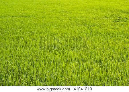 Green Rice Fields In Thailand