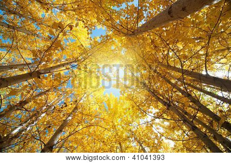 Upward view of Fall Aspen Trees , Leh District in the state of Jammu and Kashmir, India.