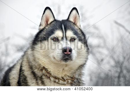 Close Up Of Siberian Husky On A Winter Background