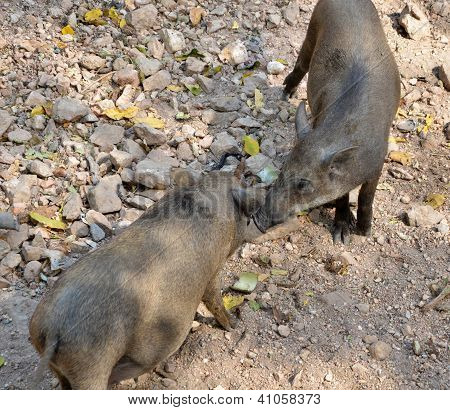 Wild Boar Brothers