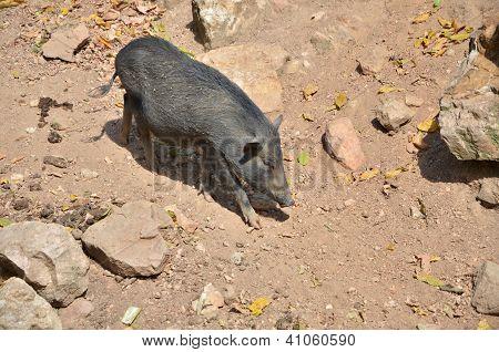 Wild Boar (sus Scrofa) In The Wild