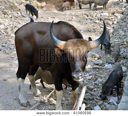 Gaur. Jiant Black Bull And Wild Boars In The Wild Nature
