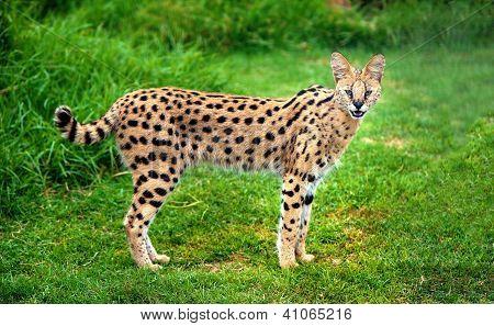 Gato Serval alerta