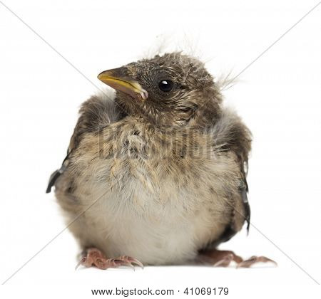 European Goldfinch chick, Carduelis carduelis, against white background