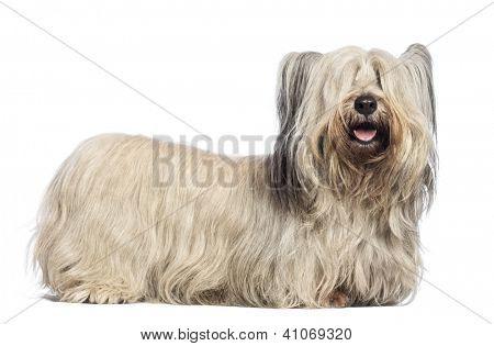 Skye Terrier against white background