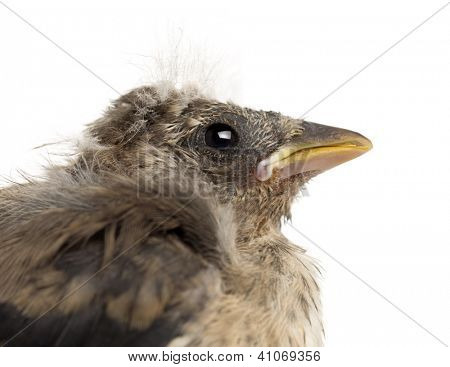 Close up of an European Goldfinch chick, Carduelis carduelis, against white background