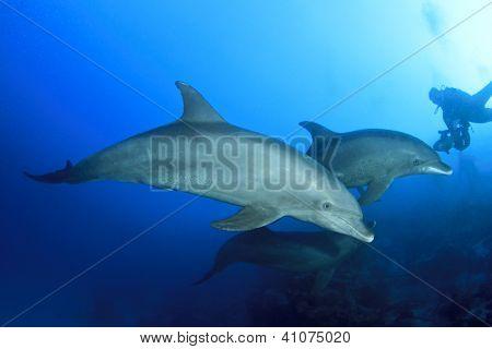 Wild lebende Delphine unter Wasser und Scuba Diver