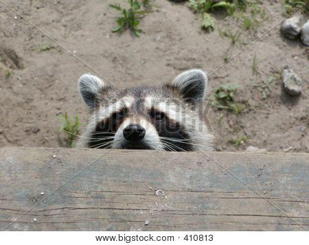 Raccoon Peeking