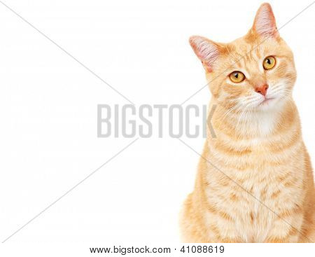 Ginger Cat isolated over white Background. Tier Porträt.