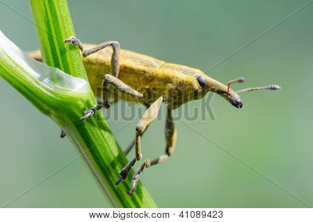 Yellow Weevil Beetle (curculionidae)