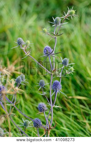 Flat Sea Holly Steel Blue Eryngo Green Background (eryngium Planum)