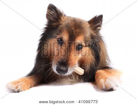 Dog Eating Treat Or Bone
