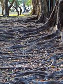 foto of land-mass  - Group of tree with mass root system above the ground in forest - JPG