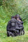 stock photo of chimp  - Two chimps or chimpanzees sitting in green grass - JPG