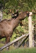 foto of deer family  - European elk are now confined to the woodlands of Scandinavia and Siberia - JPG