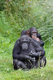 image of chimp  - Two chimps or chimpanzees sitting in green grass - JPG