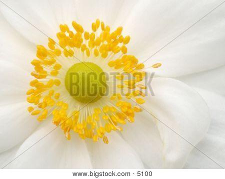 Centerflower_40511