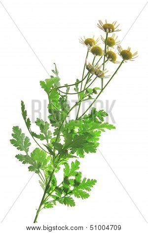 Feverfew (Tanacetum parthenium)