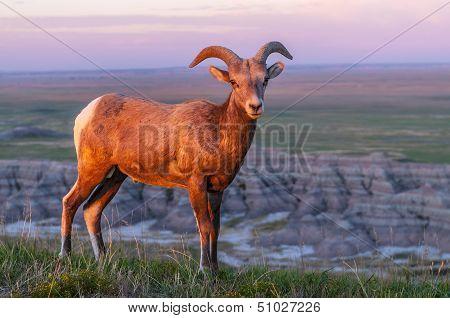 Badlands Bighorn Sheep At Sunrise