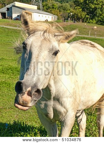Horse Snorting