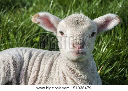 Young Lamb In Spring