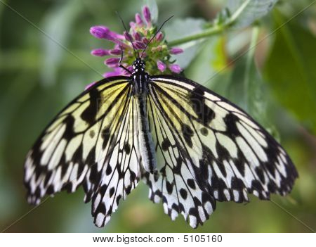 Black And White Rice Paper Or Paper Kite Butterfly, Idea Leucono