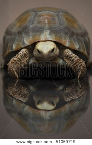 Turtle Elongated tortoise