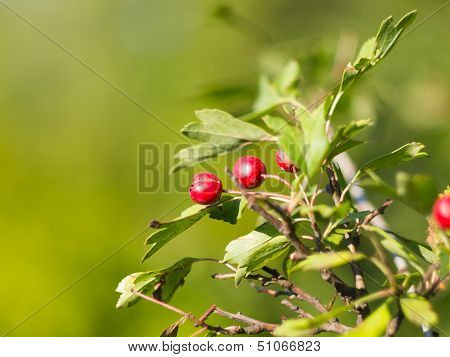 Hawthorn Branch With Fruits
