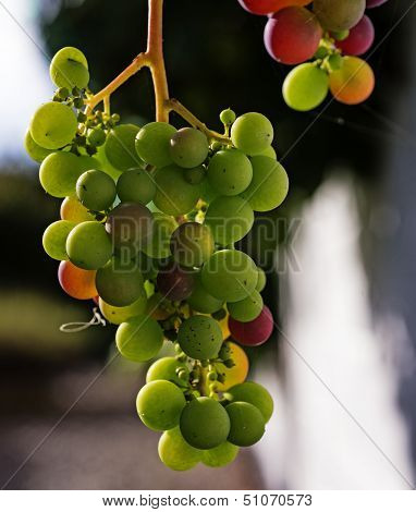 Closeup Grapes