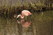 pic of flamingo  - The Chilean Flamingo  - JPG