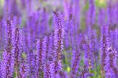 image of nepeta  - Extreme close up shot of purple colored flowers - JPG
