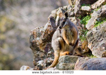 Wallaby In Natural Habitat