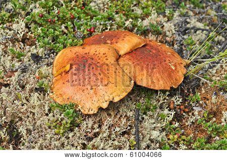 Inedible Mushrooms In The Taiga.