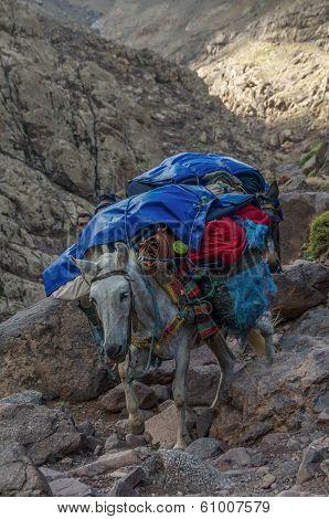 Donkey Descending From Refuge Du Toubkal