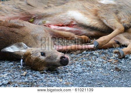 Killed deer by hunters lay on asphalt road