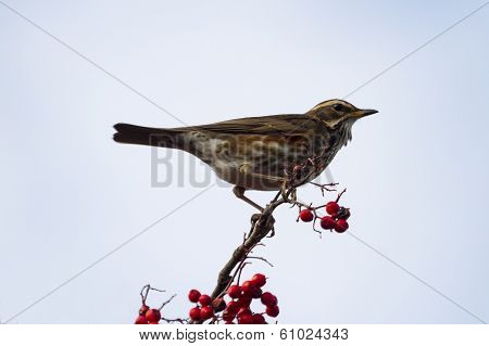 Redwing  (turdus Iliacus)