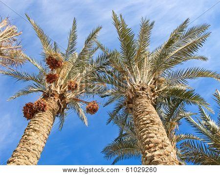 Palm garden in the Riyadh city, Saudi Arabia