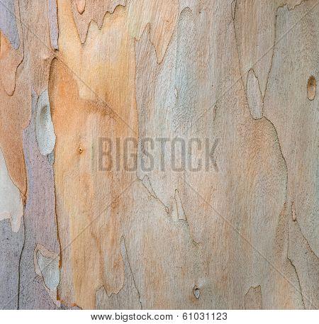 Eucalyptus Tree Bark Texture