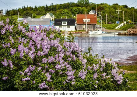 Spring lilacs flower along the shore in Stanley Bridge, Prince Edward Island.