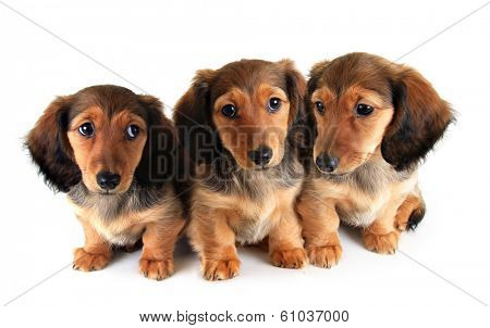 Three Longhair dachshund puppies, isolated on white.