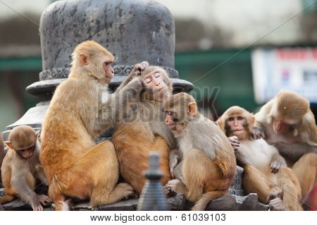 Playful monkeys near Swayambunath temple