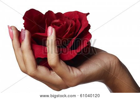 Woman Hand Holding Red Silk Rose. Patel pink manicure. Isolated On White Background