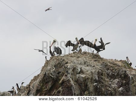 Pelicans on Ballestas Islands, Paracas National park in Peru