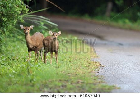 Hog Deers In The Forest