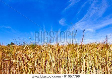 Golden Cornfield With Blue Sky