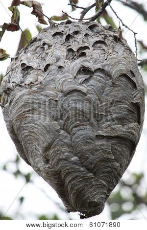 Hornets (Bold-Faced) Nest in Tree