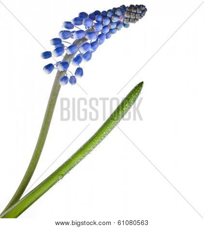 Single Blue Spring flower Muscari close up  Isolated on white background