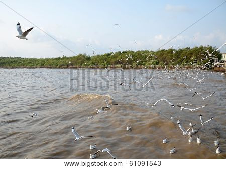 Seagull Is A Bird Migration To Bangpoo